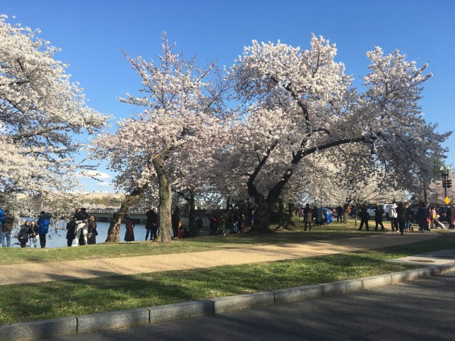 National Cherry Blossom Festival continues to excite many with