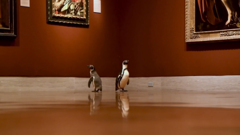 Two penguins roam the Nelson-Atkins Museum of Art in Kansas City, Mo.